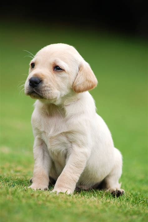 the puppy selecting a puppy the labrador retriever club inc