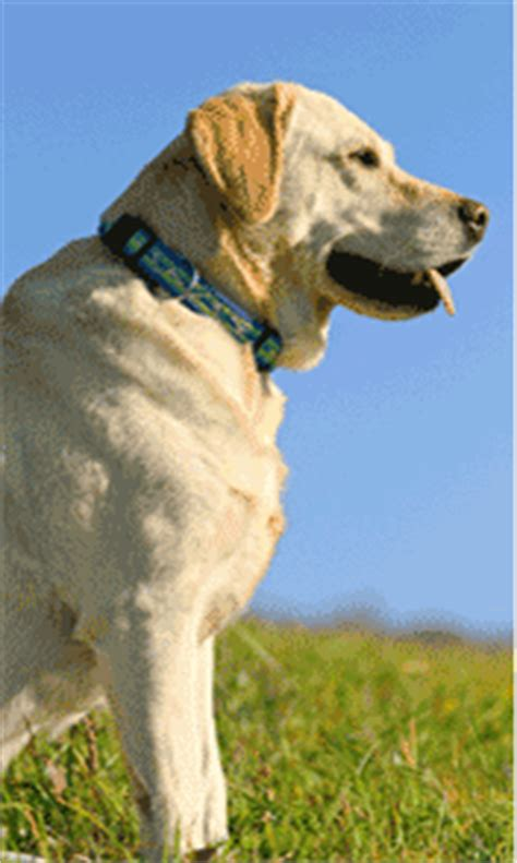 golden retriever club wisconsin labrador retriever club wisconsin merry photo