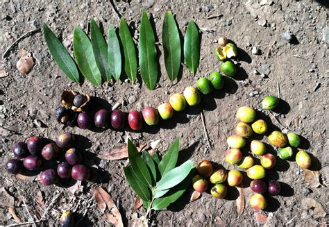 fruit trees bay area bay laurel kahlua and other gifts from the california bay