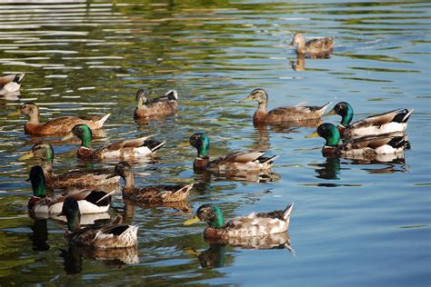 5 things to know when feeding ducks