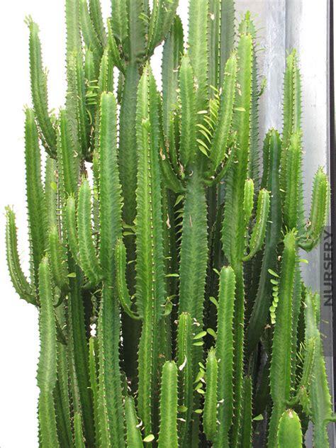 Indoor Plants For Home by Jade Tiger Cactus Euphorbia Trigona Kens Nursery