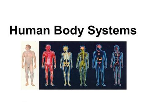 section 35 1 human body systems human body systems ppt video online download