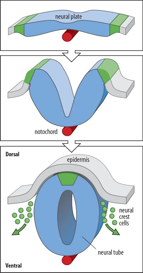 pattern formation of neural tube biol3530 molecular and developmental biology vertebrate