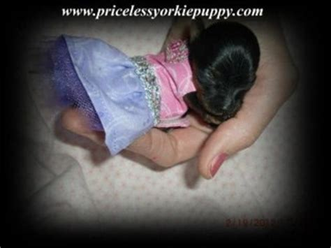 how do you potty a yorkie puppy payment priceless yorkie puppy