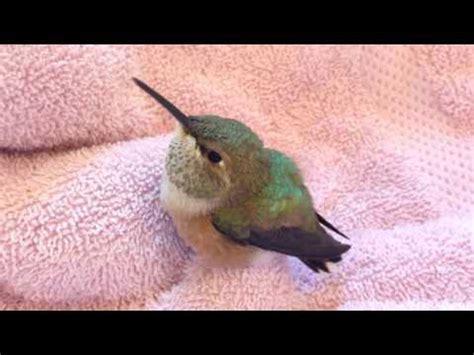 hummingbird rescue hd funnydog tv