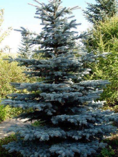 Good 12 Feet Christmas Trees #9: Blue-spruce1-400x533.jpg