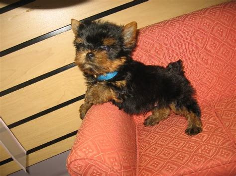 boy yorkies for sale teacup yorkie terrier breeds picture