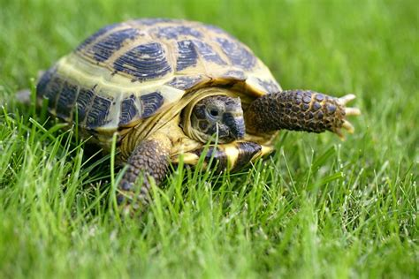 russian tortoises russian tortoise agrionemys horsfieldii for the month of