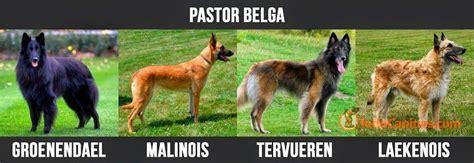 pastor belga de pelo corto pastores belga groenendael pelo largo color negro