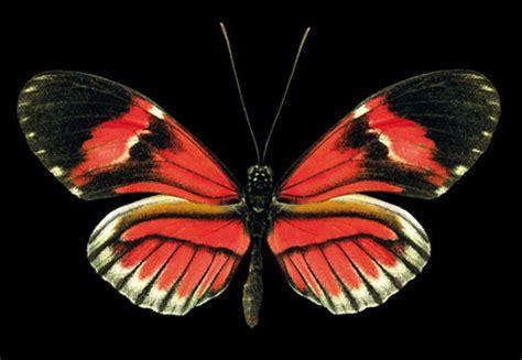 imagenes mariposas mas bonitas mundo las mariposas m 225 s hermosas del mundo cctv international