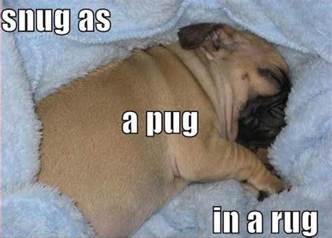 pug jokes pictures pug in a rug joke overflow joke archive