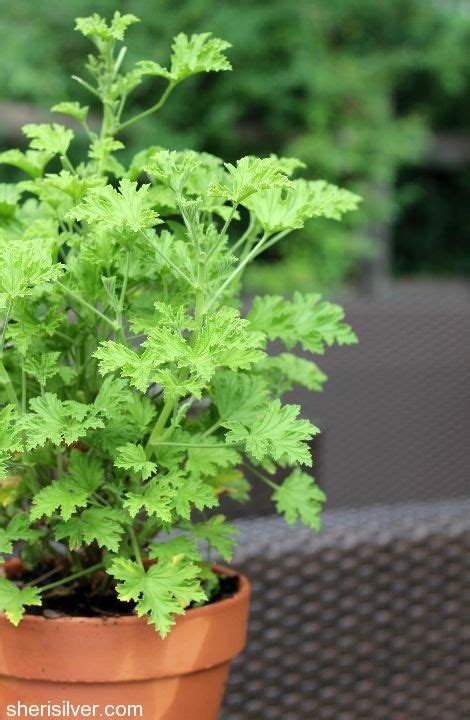 quot mosquito plant quot aka citronella scented geraniums yard pinterest