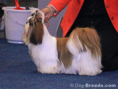 shih tzu country shih tzu pictures and informations breeds