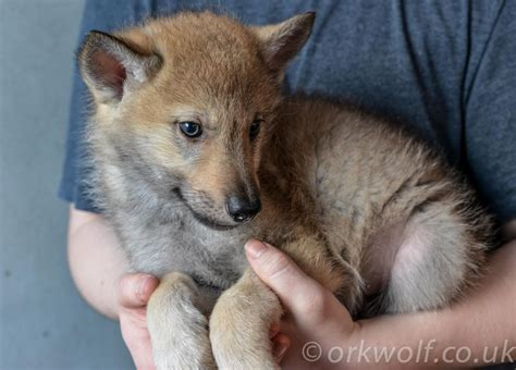 timber wolf puppies timber wolf puppies www pixshark images galleries with a bite