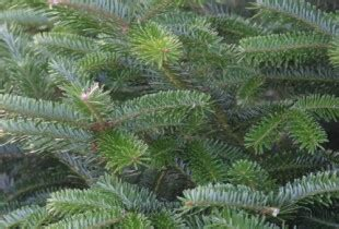 christmas tree needle retention which variety dinmore hill trees