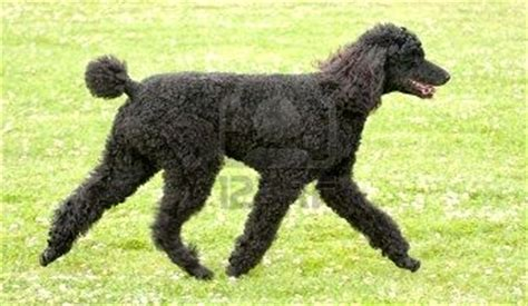 picture of poodle with silky hair texture heiress of gleefulness your hair looks like a poodle