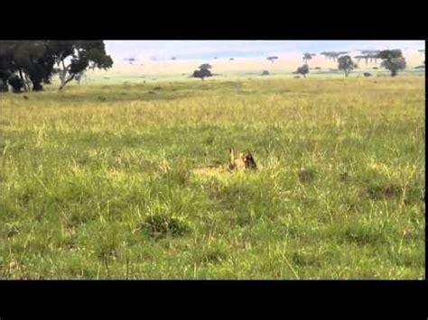Topi Snapback National Geographik 01 kills a topi antelope mashpedia encyclopedia