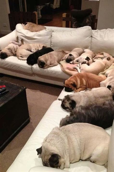 why do pugs so much pug sleepover puglets pug and sleepover