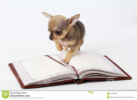 cutest puppies book puppy chihuahua reading book stock photo image 57500439