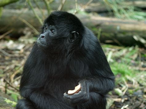 black monkey black headed spider monkey twycross zoo