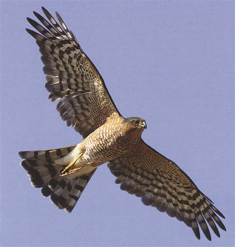 hawks at a distance identification of migrant raptors