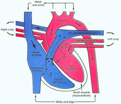 blood flow diagram blood flow diagram anatomy organ