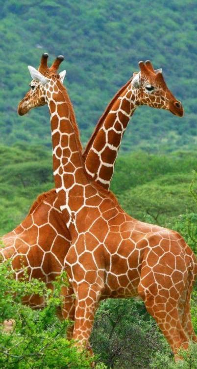 what color are giraffes green giraffe