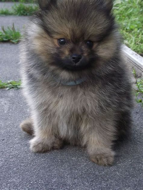 german spitz puppies german spitz kleinspitz puppy doggies