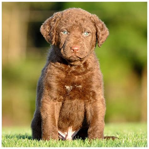 chesapeake puppies chesapeake bay retriever pup pets i would to cbr