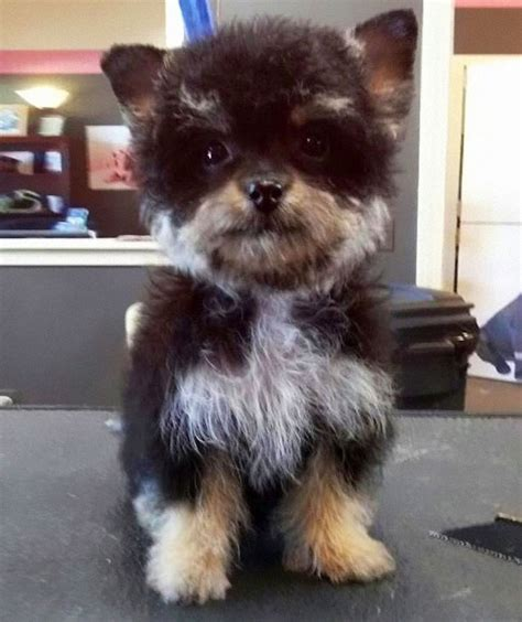 yorkie husky mix puppies these 25 cross breed dogs will make you fall in with mutts bored panda