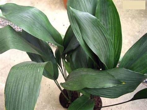 piante verdi da interno piante verdi da appartamento piante appartamento come