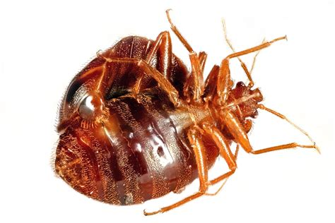 how do bed bugs mate image gallery traumatic insemination