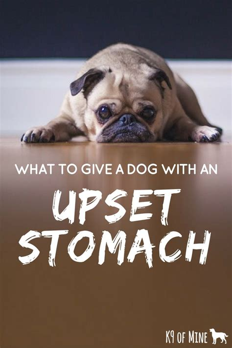 what to give a with an upset stomach 1000 ideas about upset stomach on your and for dogs