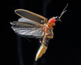 Lightning Bug Pictures Firefly Pictures Photos Firefly Images And Of