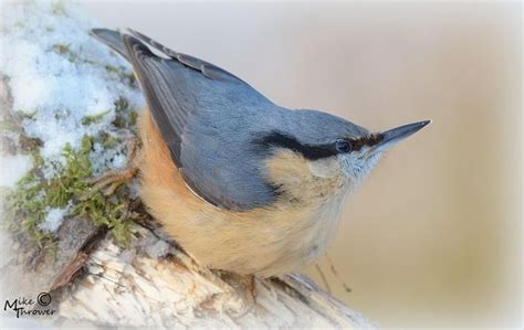 best 25 nuthatches ideas on pinterest pretty birds