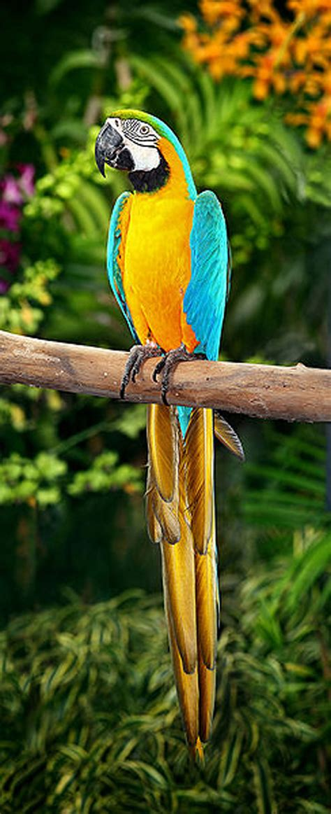 the blue and yellow macaw kaieteur news