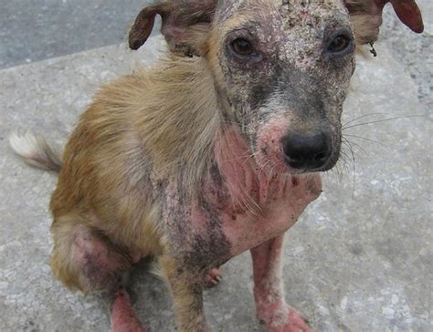 puppy mange 7 top pictures of dogs with mange in biological science picture directory