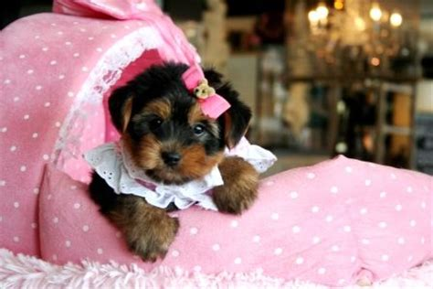yorkie puppies fort lauderdale 25 b 228 sta yorkies for sale id 233 erna p 229 teacup yorkie och baby pomeranian