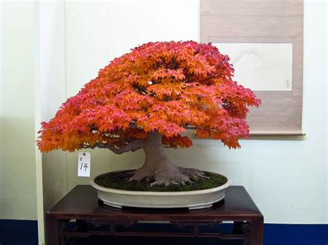 bonsai with japanese maples japanese maple bonsai bonsai bonsai online bonsai and aquariums