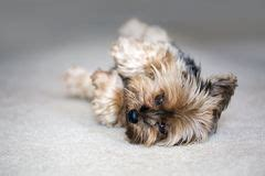 dead yorkie dead royalty free stock photo image 32280505