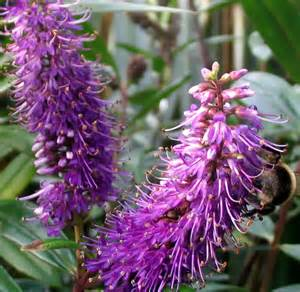plant with purple flowers flowering hebes