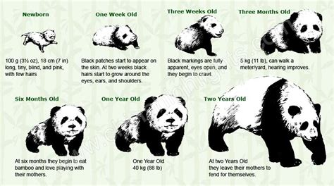 The Year Of The Panda growing process from a baby panda to a panda