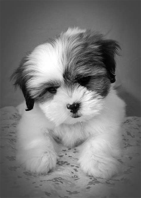 gray shih tzu puppies quot molly quot shih tzu puppy 4 pet photography grey puppys and chang e 3