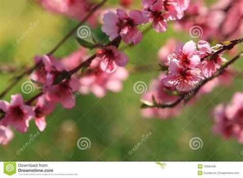 fiori di ciliegia fiori di ciliegia fotografia stock immagine di petalo