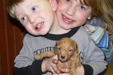 lab puppies for sale in knoxville tn teacup poodle breeders in knoxville tn photo