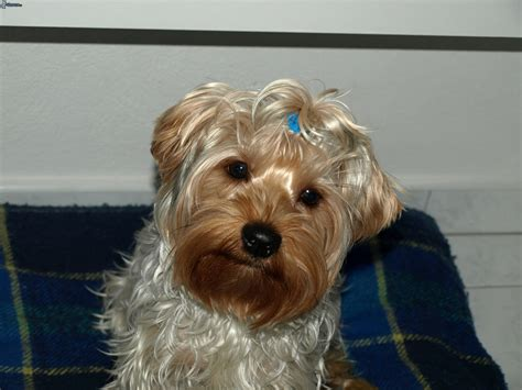 all black yorkie puppies black yorkie poo puppy all puppies pictures and wallpapers breeds picture