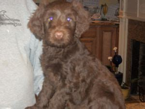 portuguese water puppies for sale portuguese water puppies for sale pwd puppies for sale