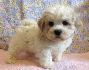 shih tzu poodle mix cost 9 important things to about bichon shih tzu