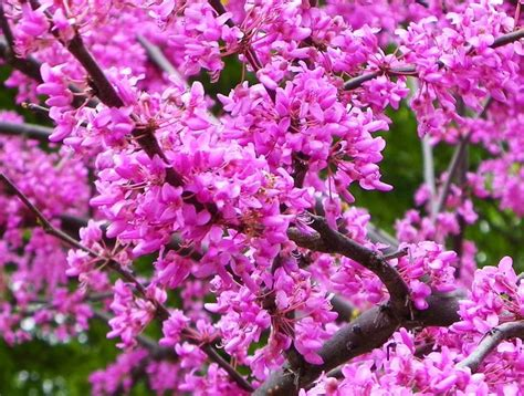 flowering redbud tree things that remind me of mom i miss you p