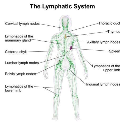 lymph nodes groin diagram lymph node diagrams diagram site